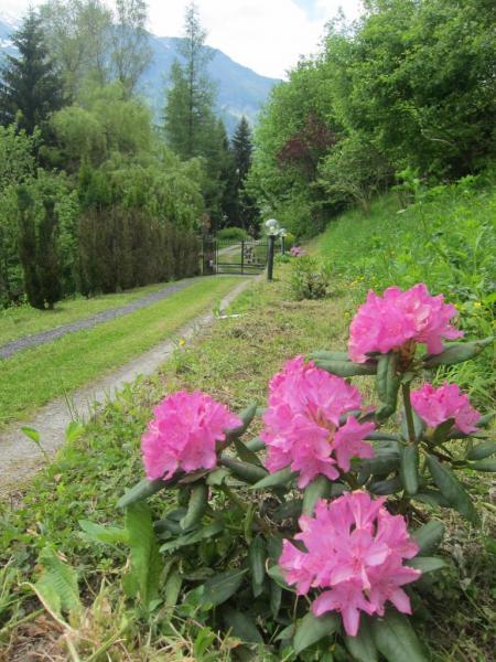 Les rhododendrons sont en fleurs